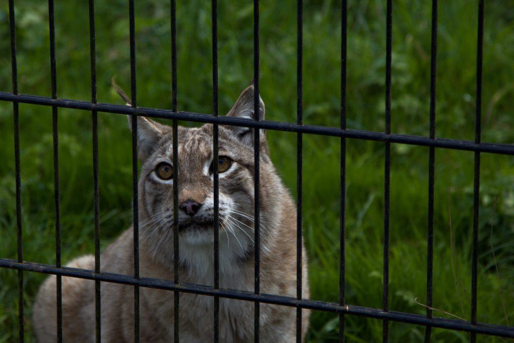Lynx look