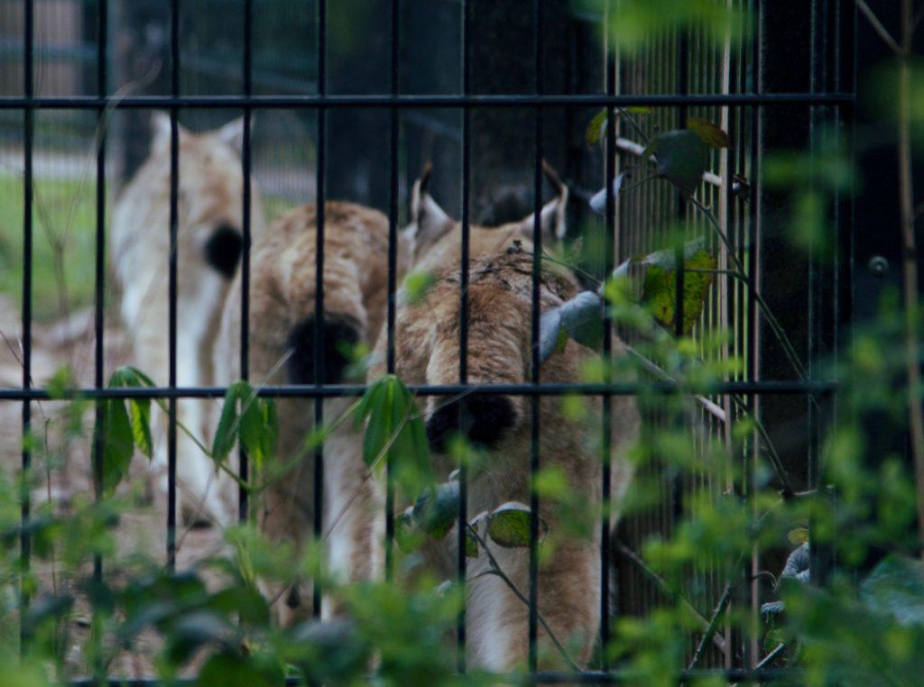 Lynx leave