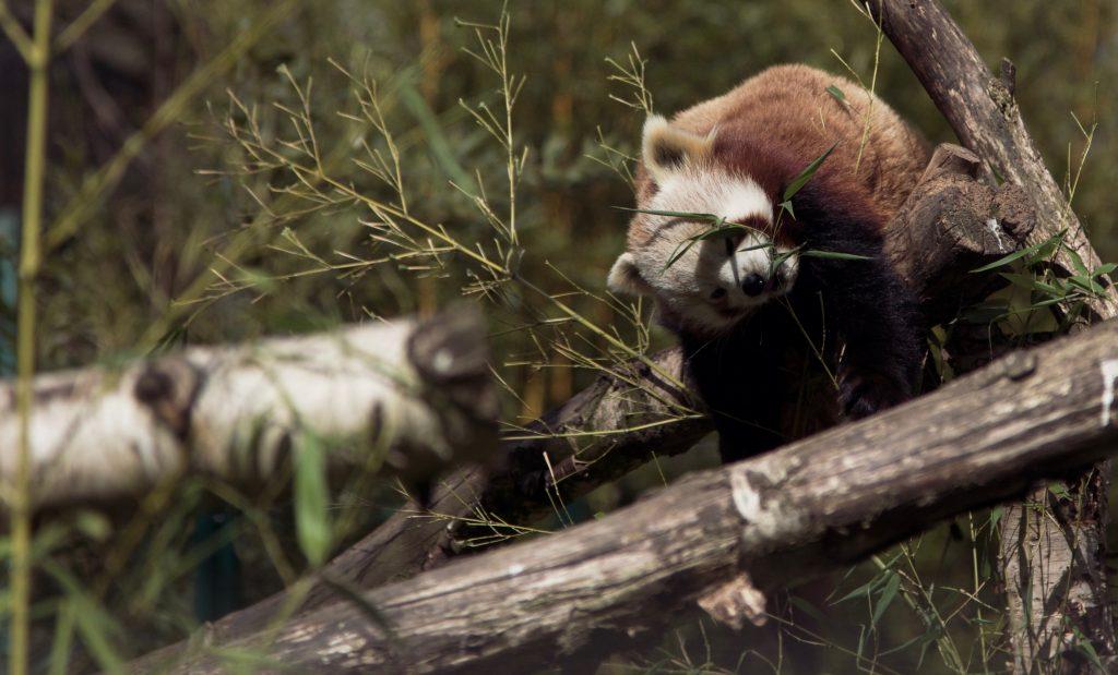 Red panda?